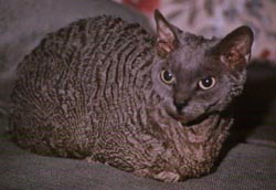grey hairless cat